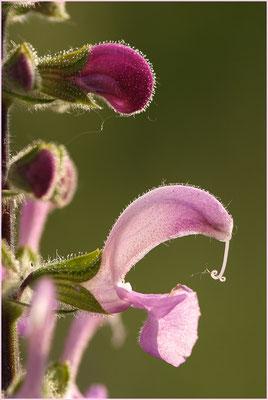 Wiesensalbei, Salvia pratensis, 06.05.2007