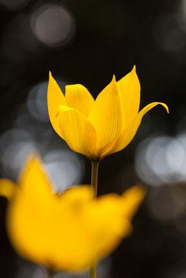 Tulpe, Tulipa sylvestris, 10.04.2016