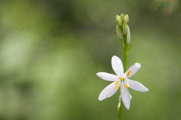 Astlose Graslilie, Anthericum liliago, Rhonetal, 08.06.2012