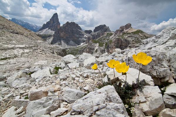 Alpenmohn, Papaver rhaeticum, Sextener Dolomiten, 01.07.2011