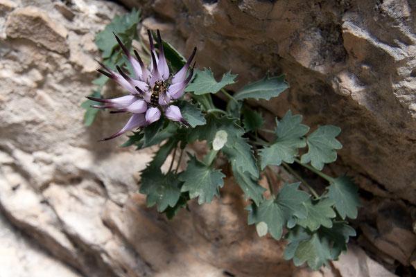 Schopfteufelskralle, Physoplexis comosa, Pragser Wildsee, 28.06.2011
