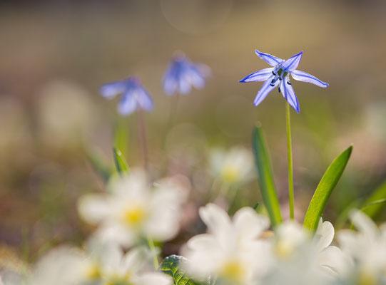 Blaustern, Scilla spec., 25.03.17