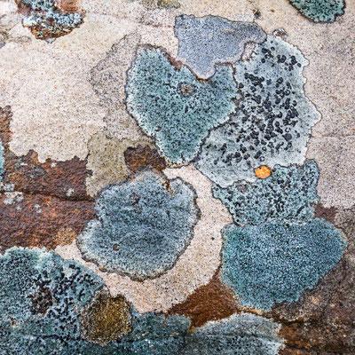 Lichenes - 2