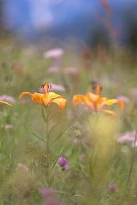 Feuerlilie, Lilium bulbiferum, Dolomiten, 17.07.2021