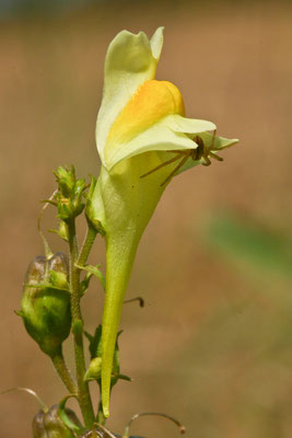 Leinkraut, Linaria vulgaris, 13.08.2005