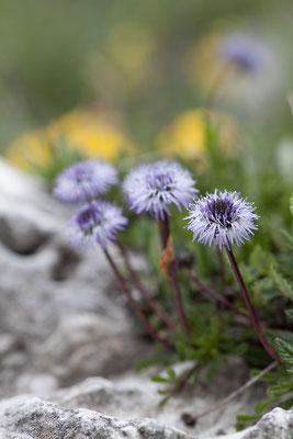 Nacktstängelige Kugelblume, Globularia nudicaulis, Sextener Dolomiten, 01.07.2011