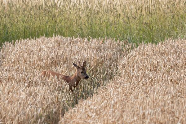 Rehbock zieht durch das Weizenfeld