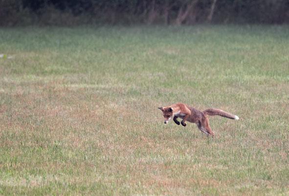 junger Fuchsrüde bei der Mäusejagd