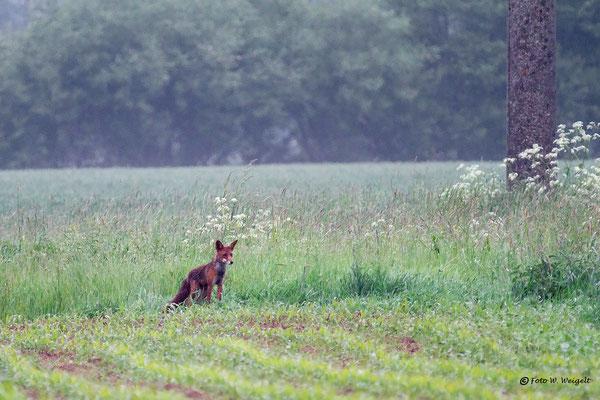 Fuchs beim morgendlichen Streifzug