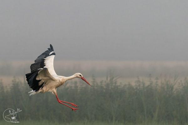 ein Storch landet direkt vor mir