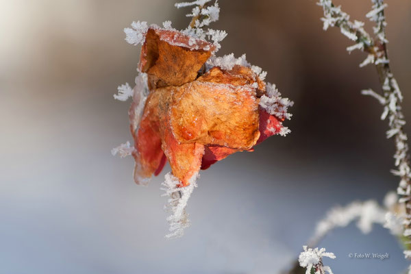 Rosenblüte Raureif