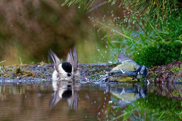 Sumpf-  und Blaumeise beim Baden