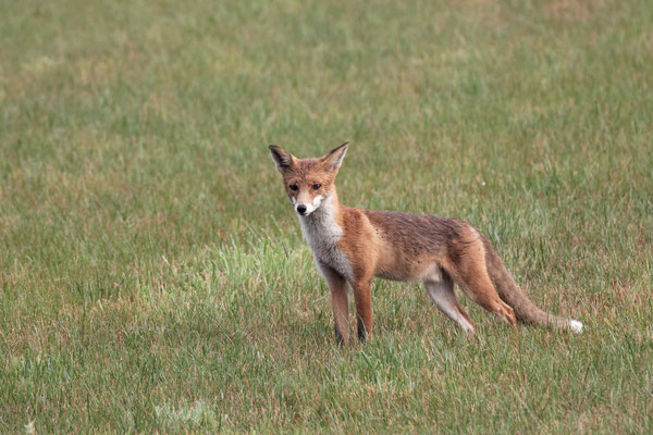 Fuchs♂