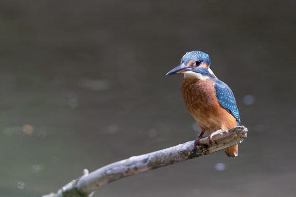 Eisvogel (Alcedo atthis)  Jungvogel