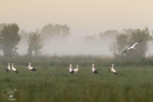 frühmorgens in der großen Wiese bei Bodennebel