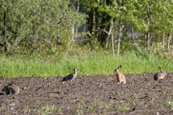 Brachvogel stolziert an den Hasen vorbei