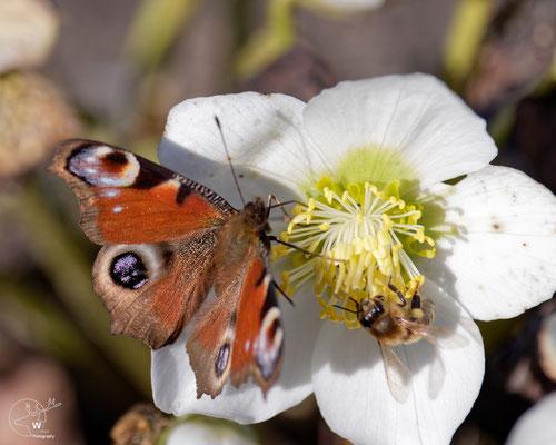 Tagpfauenauge und Honigbiene auf Christrose