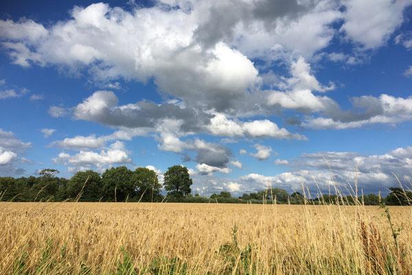 Getreidefelder im Münsterland
