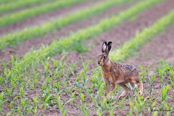 Hase auf dem Maisfeld