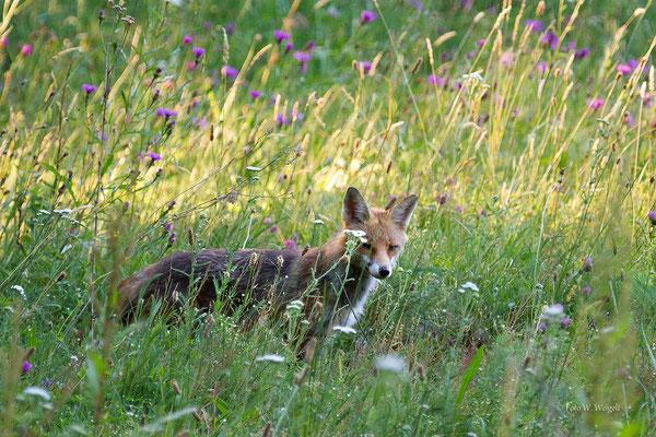 Fuchs ♀