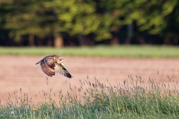 Waldohreule Jagdflug