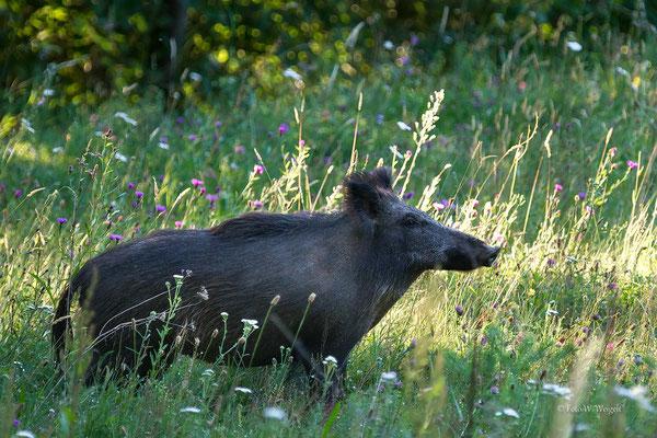 Schwarzwild Wildschwein ♀  Pfälzer Wald