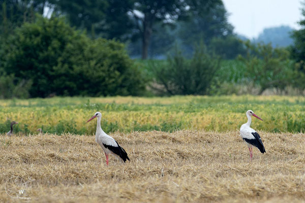 Weißstörche auf einem bereits abgeernteten Getreidefeld