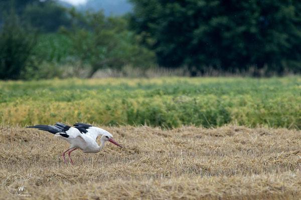 Weißstorch beim Starten