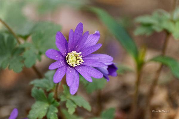 Balkan-Windröschen, Blaues Windröschen, Strahlen-Anemone - Anemone blanda (Ranunculaceae)