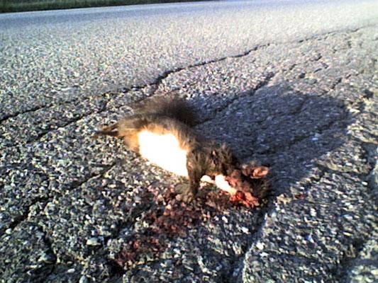 suicidal squirrel + totes Eichhörnchen + scoiattolo morto