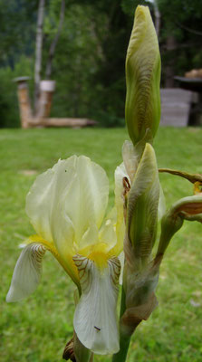 Dolomiten power Orchidee
