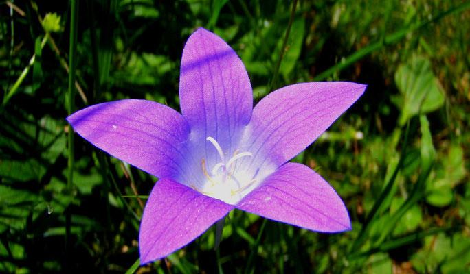 Glockenblume + campanula + bellflower