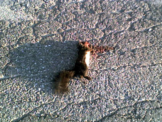 kamikaze squirrel + Eichhörnchen + scoiattolo + Oachakotze
