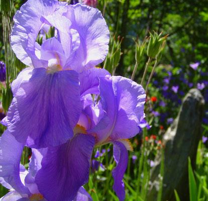 Blumen Pustertal + fiori Val Pusteria