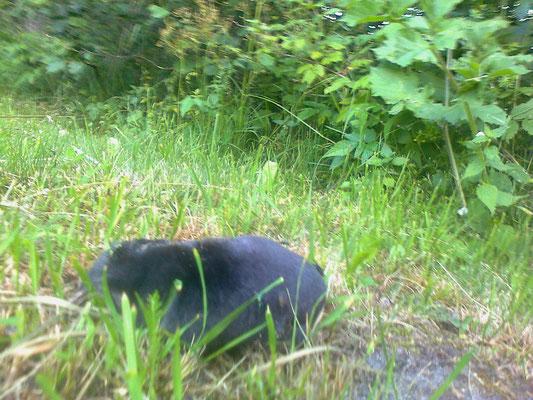 der tote Maulwurf - la talpa morta - the death mole