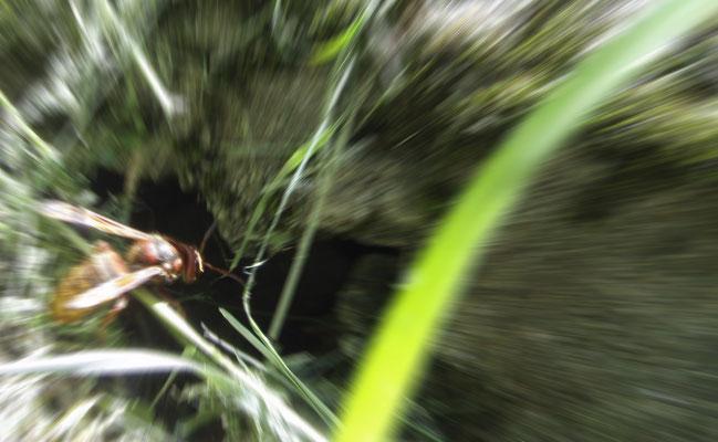 hornet's nest + Hornissennest + nido calabrone