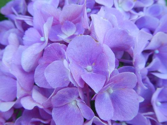 紫陽花ー3