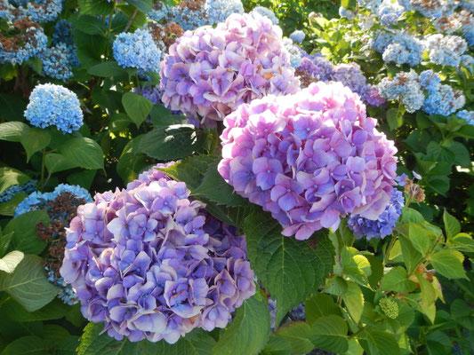 紫陽花ー2