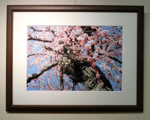 梅の里1・埼玉県越生 (写真)林 壽一