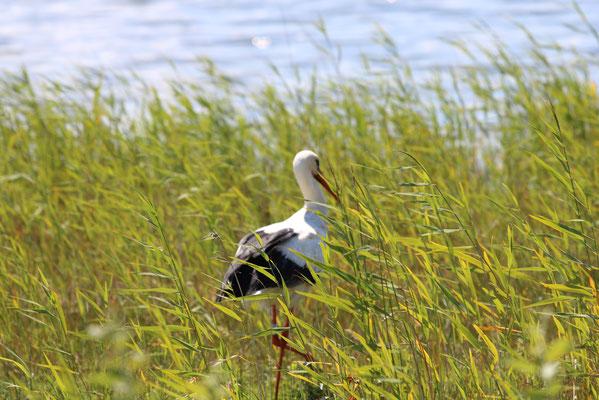 Baie de Somme, Parc du Marquenterre, oiseaux, cigognes