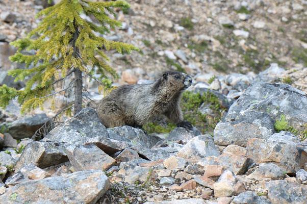 Marmotte sur le Mount Edith Cavell dans le Jasper National Park (Alberta - Canada)