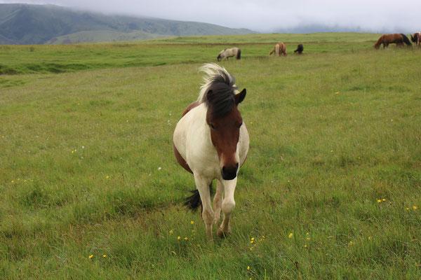 Chevaux en Islande
