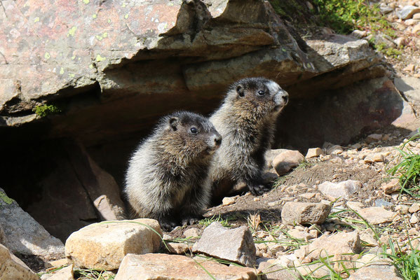 Marmotte des Rocheuses, Mount Edith Cavell, Jasper National Park