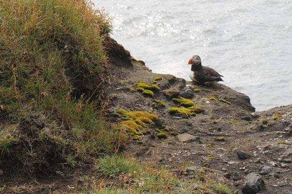 Macareux en Islande
