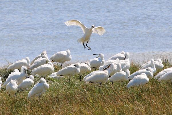 Baie de Somme, Parc du Marquenterre, oiseaux, spatules blanches