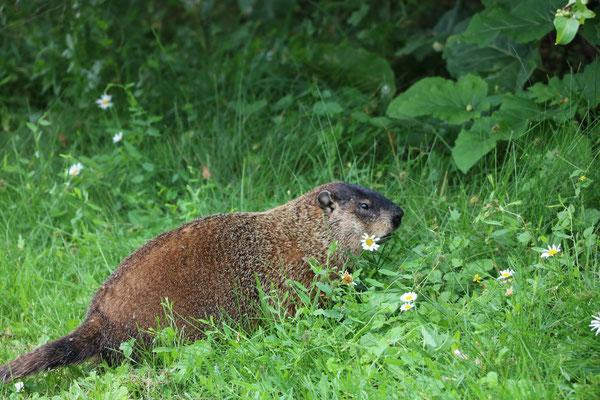 Marmotte commune, Montréal