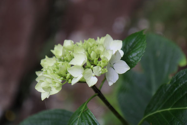 Hortensia (Hydrangea macrophylla, Hydrangeacées)