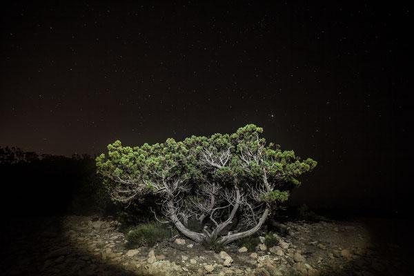 Tree of Rovira, Spain