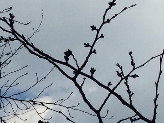 中目黒の桜はまだまだつぼみです。 sioux&lily(スー&リリー)小さな雑貨屋です。