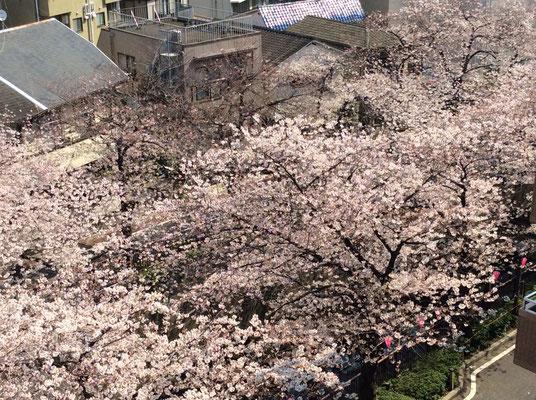 中目黒の桜、そろそろ満開かな~ sioux&lily(スー&リリー)小さな雑貨屋です。